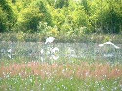 Great Egrets Photo