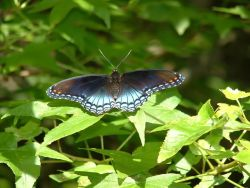 Red Spotted Purple Butterfly Photo