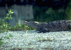 American Crocodile Photo