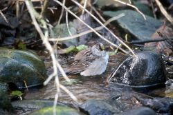 Golden-crowned Sparrow Photo