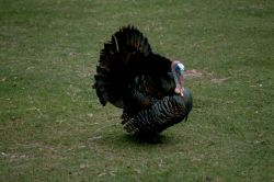 Eastern Wild Turkey Photo