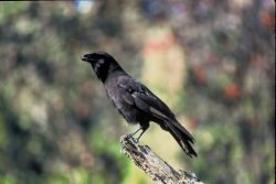 Hawaiian Crow Photo