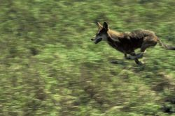 Red Wolf (running) Photo