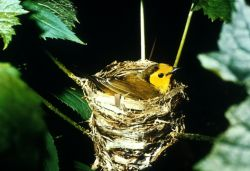 Hooded Warbler Photo