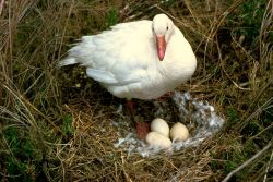 Snow Goose on Nest Photo