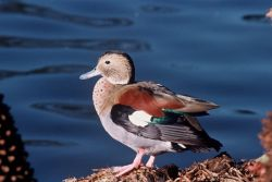 Ringed Teal (Brazil) Photo