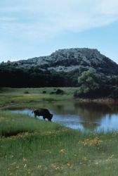 WO241 Buffalo on Wetland Photo