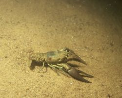Crayfish Photo
