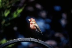 House Finch Photo