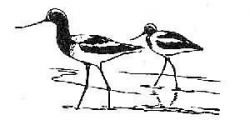 avocets 4 Photo