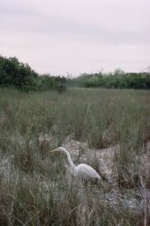 WO697 - Everglades National Park Great White Egret Photo