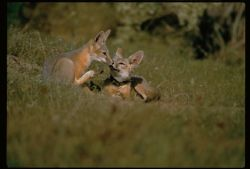 San Joaquin Kit Foxes Photo
