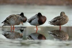 Mallard Ducks Photo