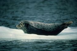 Harbor Seal Photo