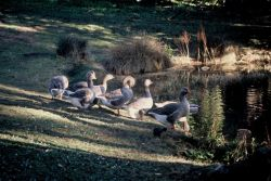Greylag Geese Photo
