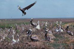 Brown Pelicans Photo