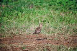 Pacific Golden Plover Photo