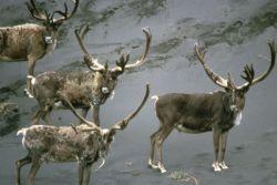 Caribou Bulls in Velvet Photo