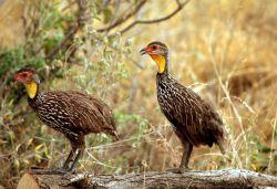 Yellow-necked Spurfowl Photo