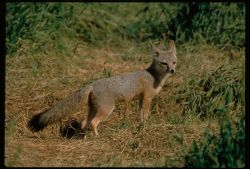 San Joaquin Kit Foxes Photo