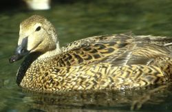 King Eider Hen Photo