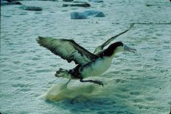 Immature Short-tailed Albatross Photo