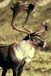 Caribou Photo