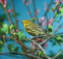 Prairie Warbler Photo