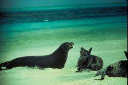 Hawaiian Monk Seals Photo