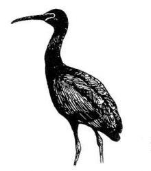 glossy ibis2 Photo