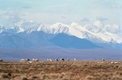 WO5180 Caribou on Brooks Range, Arctic NWR Photo