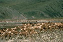 WO5168 Caribou , Arctic NWR Photo