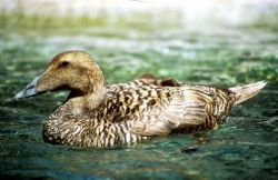 Pacific Eider Hen Photo