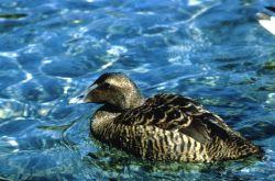 American Eider Hen Photo