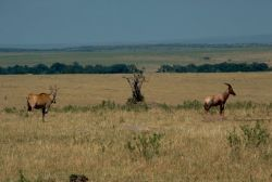 Eland and Topi Photo