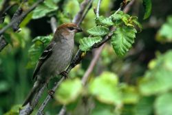 Pine Grosbeak Photo