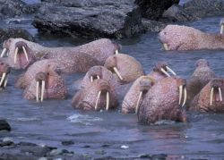 Walrus on Togiak National Wildlife Refuge Photo