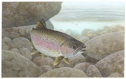 Rainbow Trout Photo