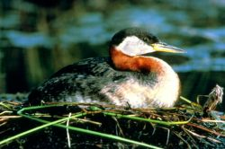 Red-necked Grebe Photo