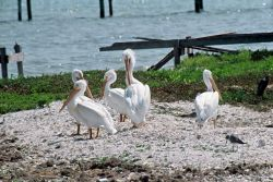American White Pelicans Photo