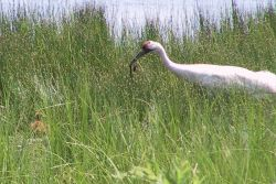 WOE216 Whooping Crane Feeding a Chick Photo