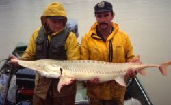 Captured Pallid Sturgeon Photo