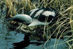 Arctic Loon on Nest Photo