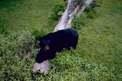 Louisiana Black Bear Photo