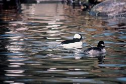Buffelheads Photo