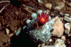 Lee's pincushion cactus Photo