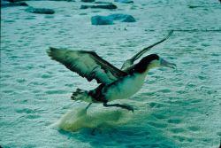 Imm. Short-tailed Albatross Photo