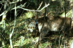 Mountain Lion with Radio Collar Photo