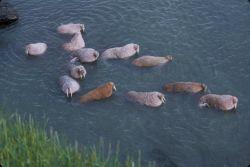 Walrus on Togiak National Wildlife Photo