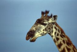 Giraffe Photo